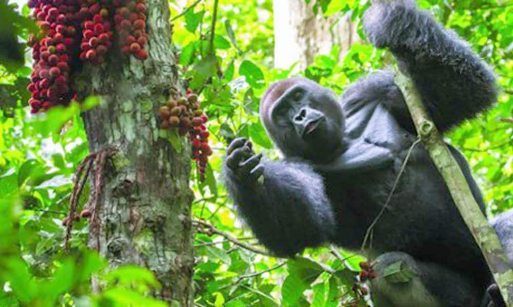 3-Days-Gorilla-tracking-Bwindi-Impenetrable-Forest-and-lake-Bunyonyi