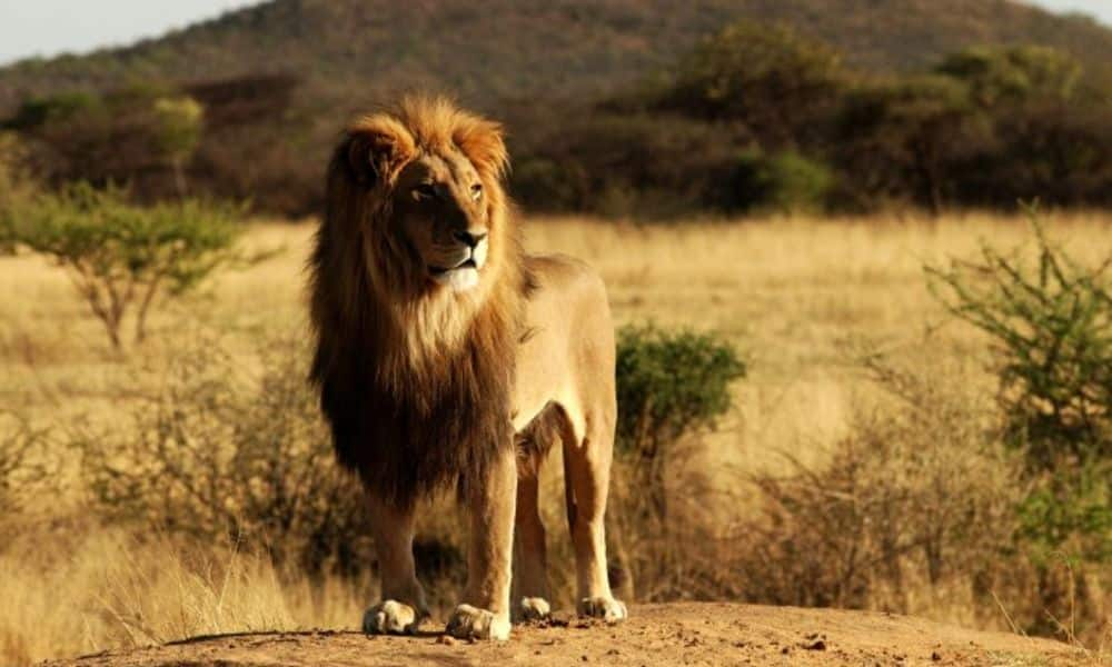 4569_King-of-the-Jungle-beautiful-lion
