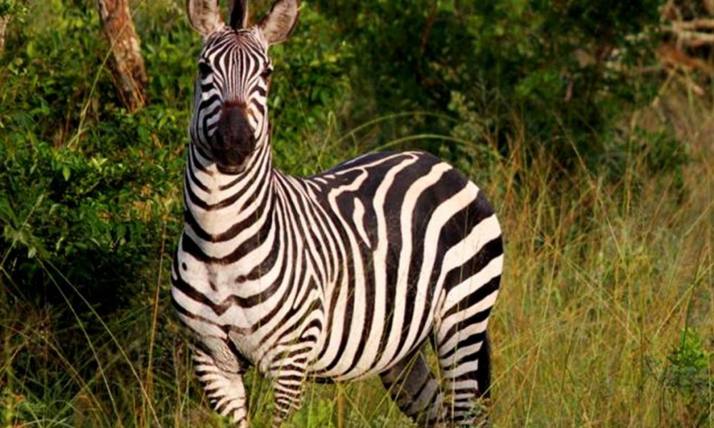8-days-uganda-wildlife-safari-with-gorillas-and-chimpanzees-zebras-in-lake-mburo-national-park-990x490