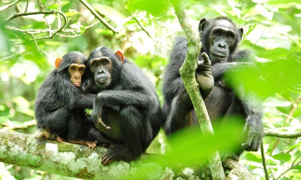 Kibale-gorillas-1-1024x681