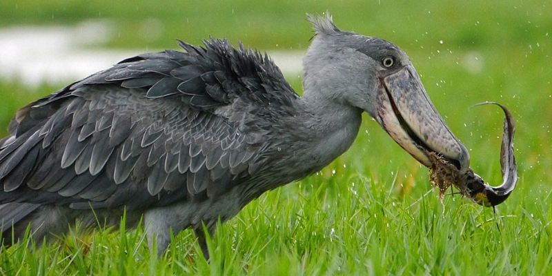 Shoebill-stork-feeding