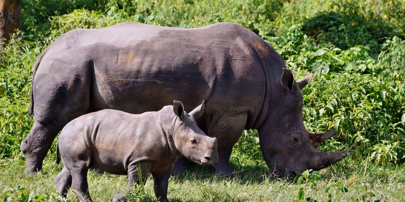 White-rhino-with-calf-in-Ziwa-Rhino-Sanctuary-Uganda-Africa-Enchanting-Travels