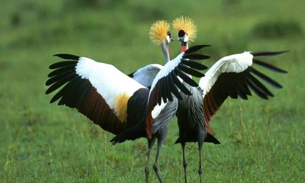 birding-safari-Crowned-Cranes1-1024x768
