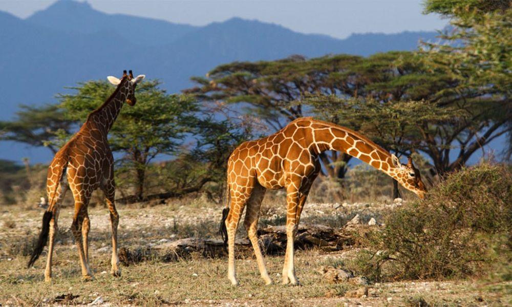 giraffe-samburu-950x534