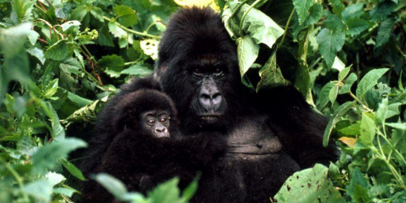 gorilla_7.31.2012_hero_and_circle_HI_45487
