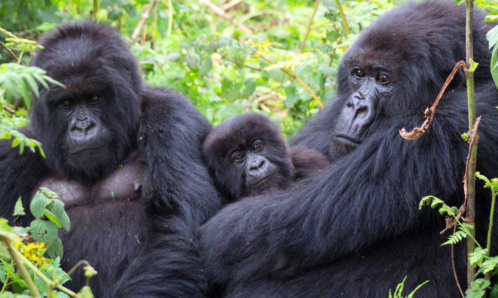 image_5039e-Mountain-Gorillas