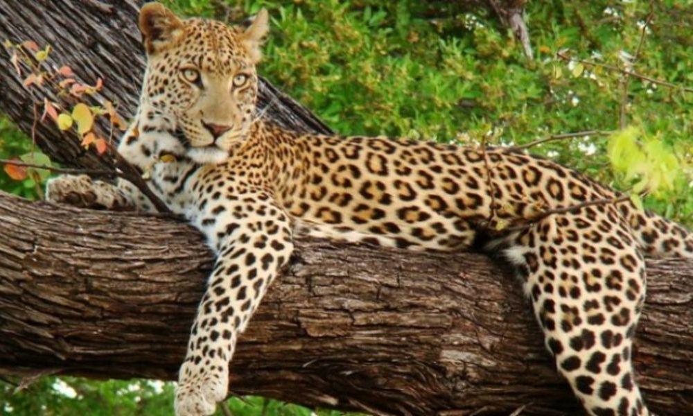 leopard(1) (1)