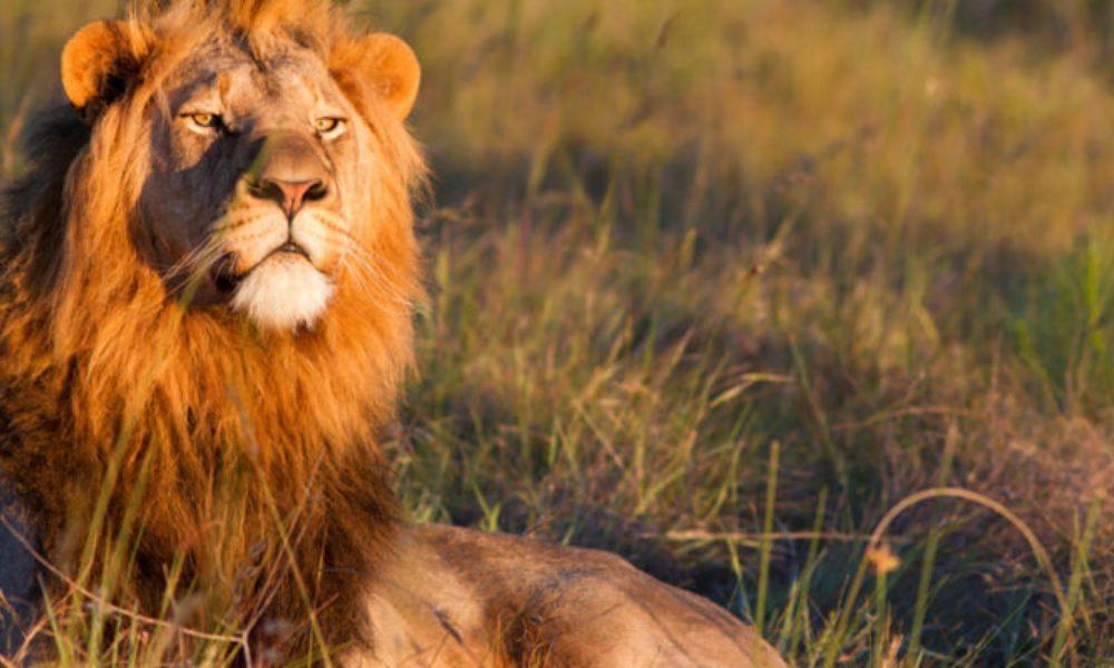 ugandan_lion-800x400