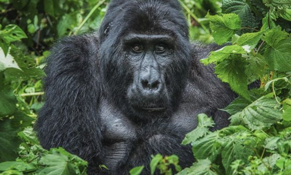 About-mountain-gorillas-1-816x340