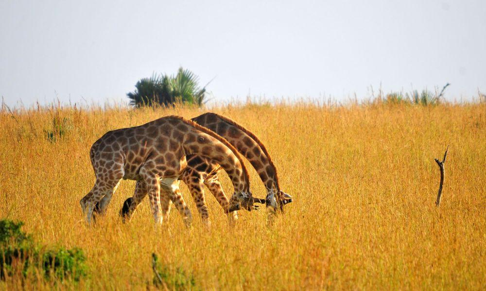 giraffes-kajie-safaris