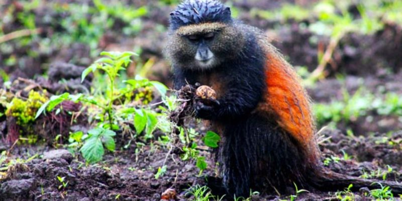2-days-golden-monkey-tracking-tour-rwanda