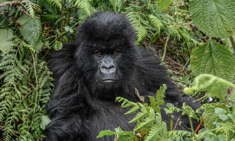 Canva - Adolescent wild mountain gorilla with a serious look