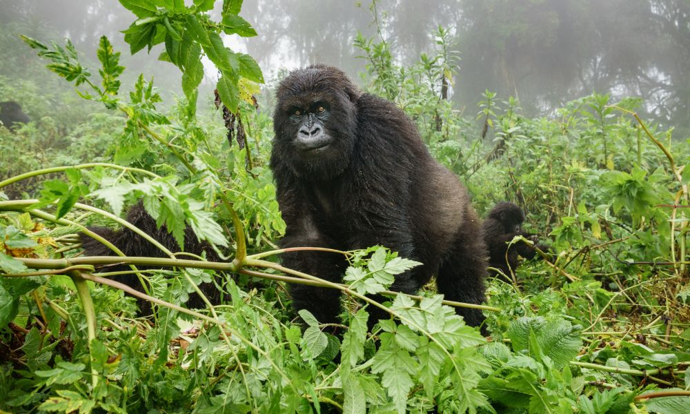 Canva - Female mountain gorilla observing tourists in the forest