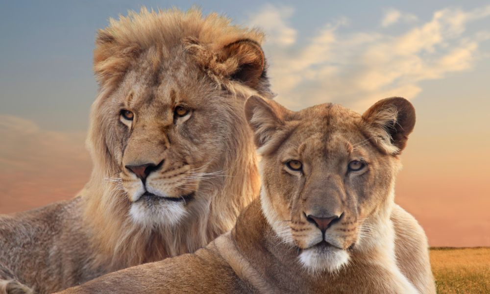 Canva - Pair of Young African Lions Resting at Sunset